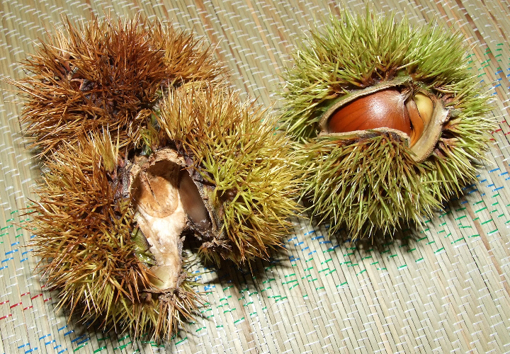 Japanese chestnuts